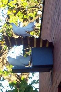 Perth Pigeons